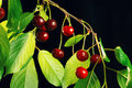 Ripe cherries on a branch hanging isolated black background Royalty Free Stock Photo