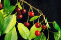 Ripe cherries on a branch hanging isolated black background Stock Photos