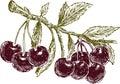 Ripe cherries on a branch
