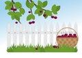 Ripe cherries in the garden