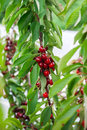 Ripe cherries hanging on a tree just before they got picked red and sweet branch harvest in early summer Royalty Free Stock Image