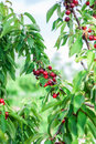 Ripe cherries hanging on a tree just before they got picked red and sweet branch harvest in early summer Stock Images