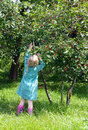 Ripe cherries little girl picking from the tree Stock Images