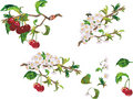 Ripe cherry and flowers Royalty Free Stock Photo