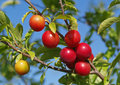 Ripe cherry plum on branches on a background blue sky Royalty Free Stock Photo