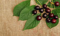 Ripe cherry on the rough fabric as the background Royalty Free Stock Photography
