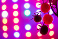 Ripe cherry tomatoes silhouette against led grow lamp Royalty Free Stock Photo