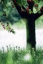 Ripe cherry tree Royalty Free Stock Photo
