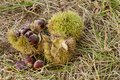 Ripe Chestnuts Fall After Autumn Rain Royalty Free Stock Images