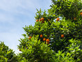 Ripe citrus tree orange branches with fresh fruits Royalty Free Stock Photography