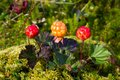 Ripe cloudberry (Rubus chamaemorus) Royalty Free Stock Photo