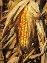 Ripe cob of Indian Corn  Royalty Free Stock Photo
