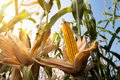 Ripe corn on the cob in a field Royalty Free Stock Photo