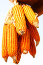 Ripe corn hang on wood Stock Photos