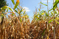 Ripe corn plant with corncob agricultural agriculture autumn blue cereal closeup cob country crop farm farming field Stock Photo