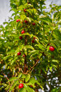 Ripe cornelian cherries Royalty Free Stock Photo