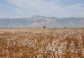 Ripe cotton field with a car and mountain in the background turkey Royalty Free Stock Images
