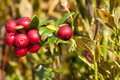Ripe cowberry red close up Royalty Free Stock Photos