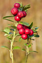 Ripe cowberry red close up Royalty Free Stock Images