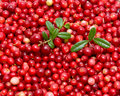 Ripe cranberries Stock Photos