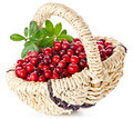 Ripe cranberries in basket Royalty Free Stock Images
