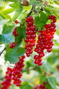 Ripe currants red in the garden Stock Photo