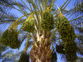 Ripe dates on palm tree ripened in california Stock Photo