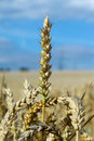 Ripe ears of wheat in the blue sky Royalty Free Stock Photography