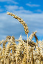 Ripe ears of wheat in the blue sky Royalty Free Stock Images