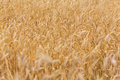 Ripe ears of wheat field background from golden Stock Image