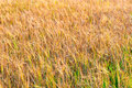Ripe ears of wheat in field in late summer Royalty Free Stock Photo