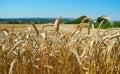 Ripe ears of wheat. Royalty Free Stock Photo