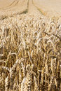 Ripe ears of wheat in summer field Royalty Free Stock Image