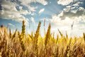Ripe ears of wheat under the blue sky Royalty Free Stock Photo