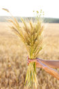 Ripe ears wheat in woman hands close up against a background of field concept of abundance and harvest Stock Photos