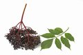 Ripe elderberry (Sambucus nigra) Royalty Free Stock Photos