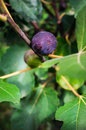 Ripe fig fruit on the tree attached to the branch close up Royalty Free Stock Photography