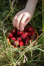 Ripe fresh stawberries on a summer grass. Royalty Free Stock Photo