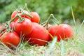 Ripe fresh tomatos on grass. Royalty Free Stock Photo