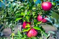 Ripe Fruits Of Red Apples On T...