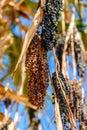 Ripe fruits of trachycarpus palm tree Royalty Free Stock Photo