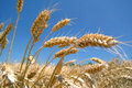 Ripe golden barley  field Royalty Free Stock Images