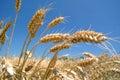 Ripe golden barley field Royalty Free Stock Photo