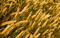 Ripe golden wheat spikes Stock Photography