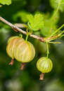 Ripe gooseberries and camouflaged caterpillar green over a gooseberry Stock Image