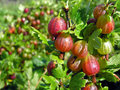Ripe gooseberries after the watering Stock Photos