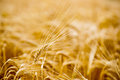 Ripe grain in the fields sunny summer field Royalty Free Stock Image