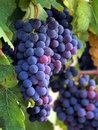 Ripe grape Stock Photography