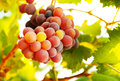 Ripe grape bunch Royalty Free Stock Photo
