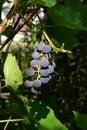 Ripe grape in the garden, closeup. Vitis labrusca